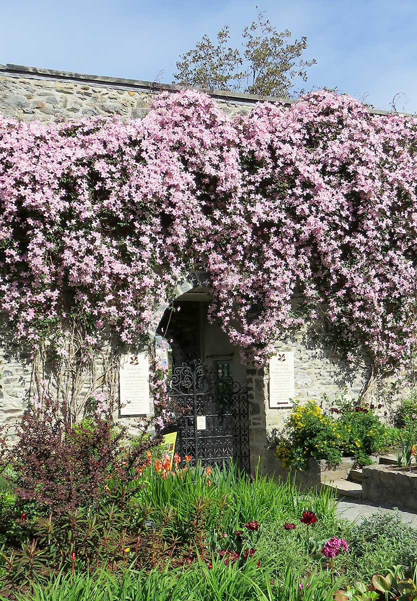Clematis at Bodnant Gardens