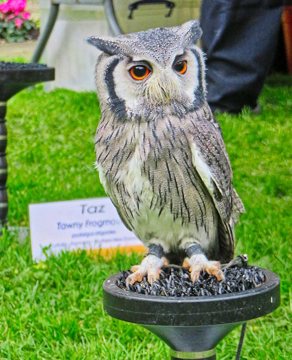 Taz the Tawny Frogmouth Owl on display at St Donats Castle