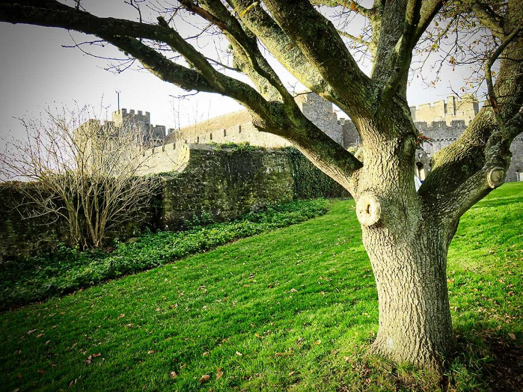 Tree in the gardens around St Donats Castle