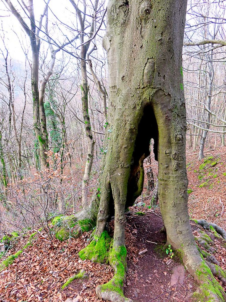 Burnt out tree base in woods near Castell Coch