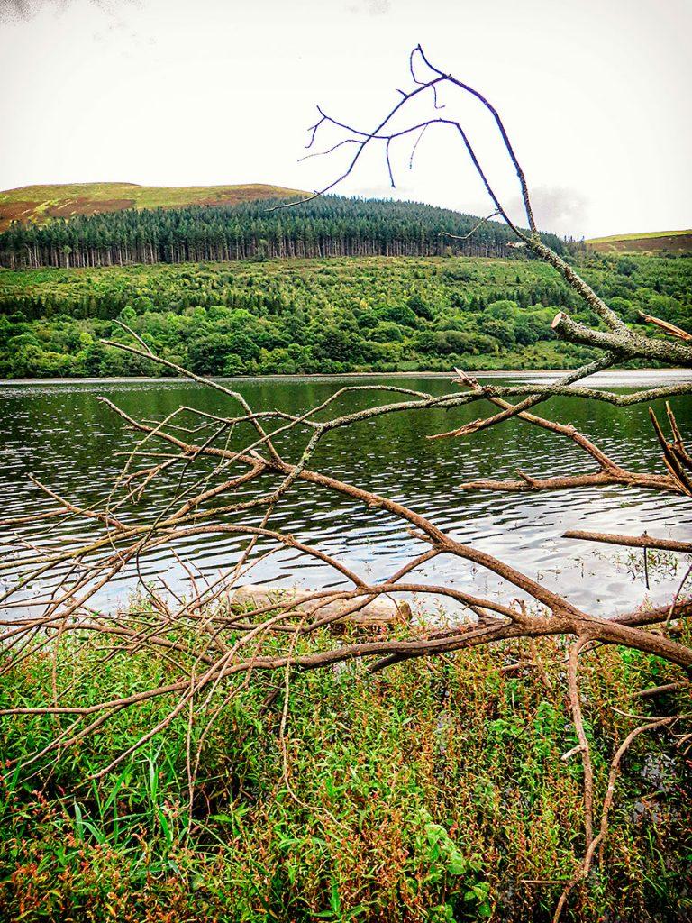 Fallen tree on the banks of Talybont Reservoir.