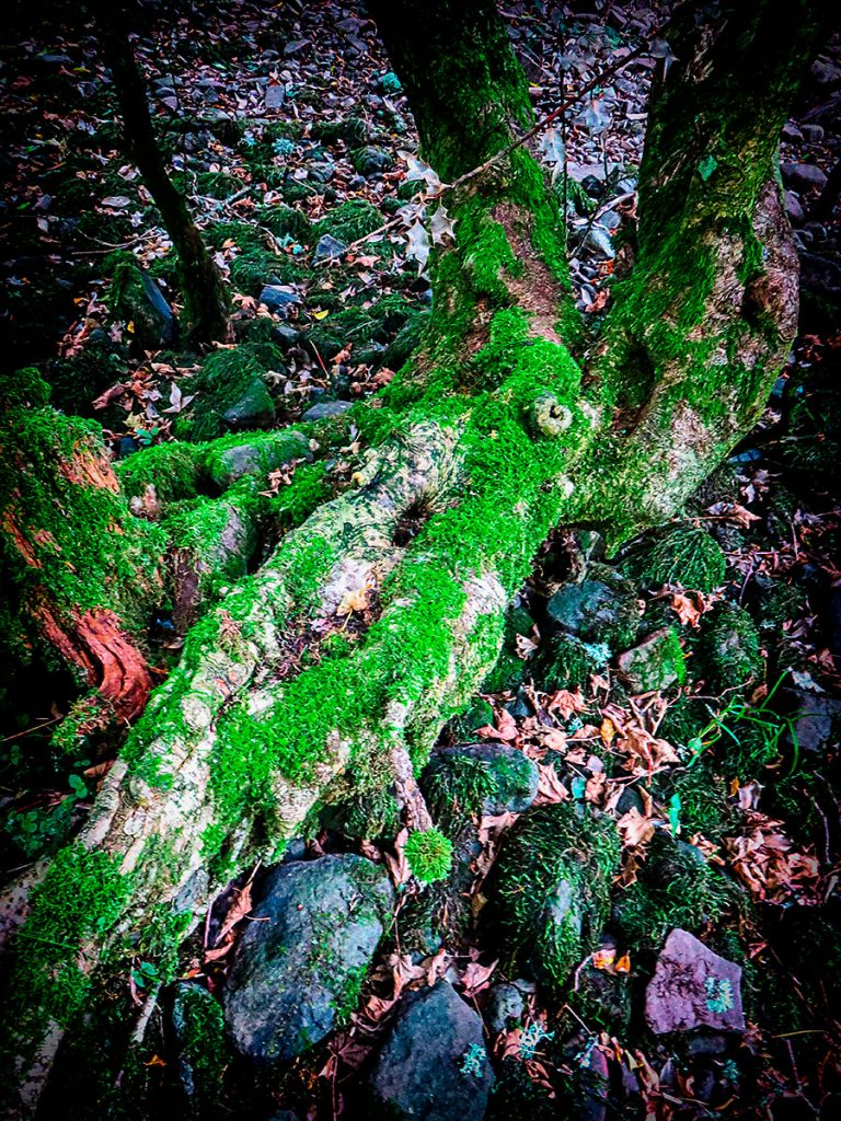 Tree and moss at Talybont Reservoir.