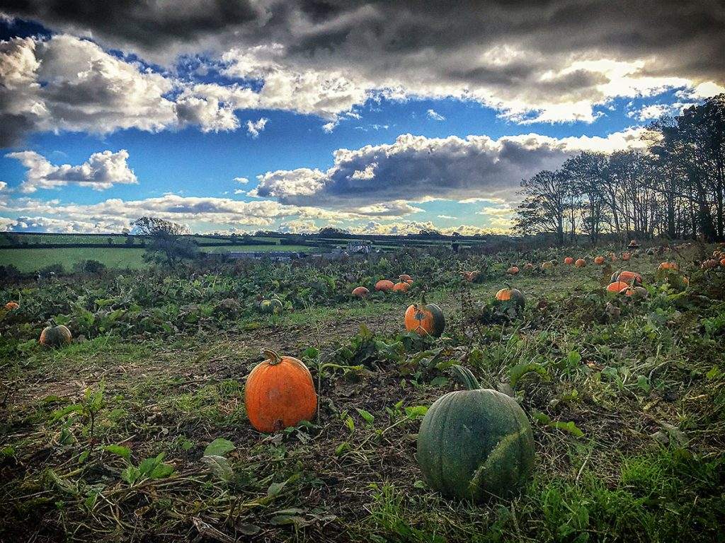 Pumpkins waiting for picking.